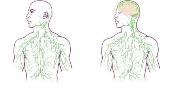 Maps of the lymphatic system: old (left) and updated to reflect UVA's discovery. Credit: University of Virginia Health System